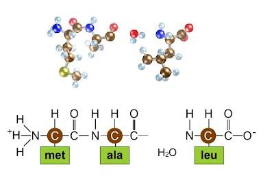 https://smartsite.ucdavis.edu/access/content/user/00002950/bis10v/media/ch02/peptide_bonding.html